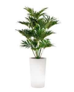 noleggio pianta palma e vaso alto x-pot